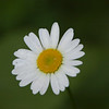Wild Daisy-07132014-121025(f).jpg