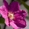 Clematis-07132014-121758(f).jpg