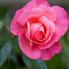 Climbing Rose-07132014-121724(f).jpg