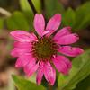 Coneflower-07132014-120400(f).jpg