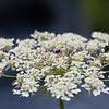 Queen Anne's Lace-07132014-121603(f).jpg