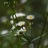 Wildflower-07132014-121109(f).jpg