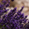 Lavender-07132014-121858(f).jpg