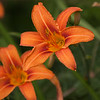 Tiger Lily-07132014-120745(f).jpg