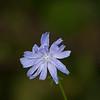 Cornflower-07132014-120339(f).jpg