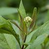 Milkweed-07132014-121030(f).jpg