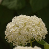 Hyacinth-07132014-121956(f).jpg