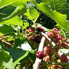 Weeping Mulberry-06192014-135635
